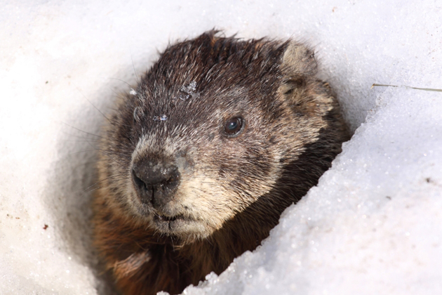 twenty-interesting-facts-about-groundhog-day1